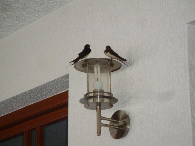 060. Ласточки-родители в таверне Нео Климы - Νέο Κλήμα