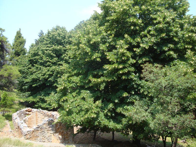 067. Деревья с раскидистой кроной - На горе Дельфи (Δέλφη)