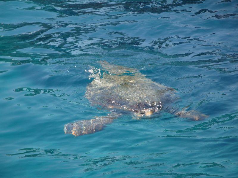 """03. Морская черепаха Caretta-Caretta - Черепахи """"Caretta-Caretta"""" вырастают довольно крупными, в мае они откладывают яйца на пляжах Каламаки и Лаганас, откуда в августе-сентябре вылупляются маленькие черепашата и сразу ползут в море. Сами черепахи, отложив яйцо, отправляются по своим делам, с ними даже можно искупаться в море, если повезет! Маленькие черепашки предоставлены самим себе."""