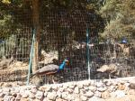 15. Павлины на прогулке - Каменный парк Аскос (Ασκός Πέτρινο Πάρκο)