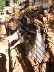 19. Еноты протягивают ручки - Ну очень прожорливые еноты из каменного парка Аскос!