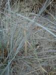 26. Эффектная маскировка - Палочник практически сливается с сухой травой.