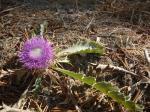 34. Прелестный цветок - Такие цветы растут вдоль дороги, спускающейся с гор к морю