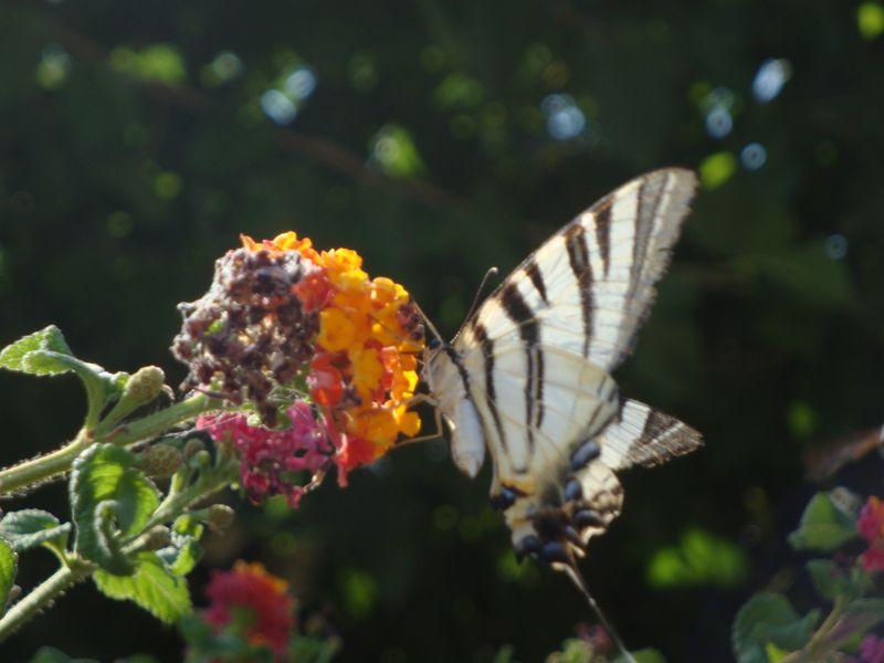 36. Бабочка-цветок - Очень крупная бабочка, издали показалось, что просто очень красивый цветок, ее крылья большие и раскрываются как лепестки!