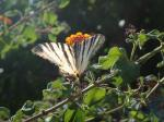 37. Прелестнейшая бабочка-цветок - Такие бабочки порхают вдоль горной дороги к морю