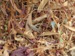 38. Кузнечик в траве - Обычный кузнечик