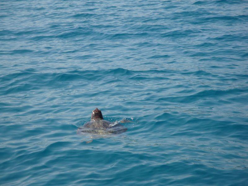 45. Ура, показалась черепаха! - Морская черепаха Caretta-Caretta