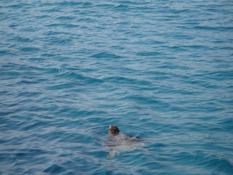 46. Ура-ура, черепаха прямо рядом - Морская черепаха Caretta-Caretta