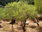 49. Миндальное дерево - Πέτρινο Πάρκο Ασκός (каменный парк Аскос)