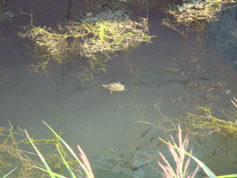 68. Вот такая канавка - помимо черепах, рыб, плавала еще и уточка с утятами!