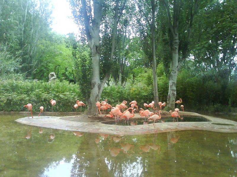 030. Розовые фламинго - Барселонский зоопарк