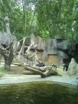 031. Шимпанзе - Очень забавно носили своих деток и во многом были похожи на людей!