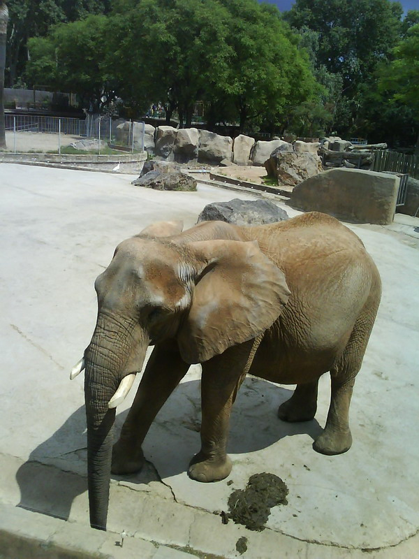 035. Слон - Барселонский зоопарк