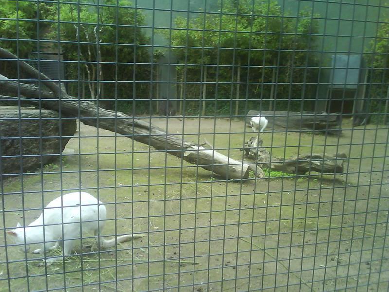 038. Белые кенгуру - Барселонский зоопарк