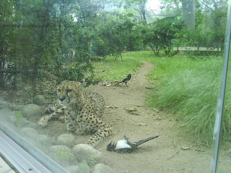 "040. Леопард и сорока - Леопард придушил сороку. В Испании неоднократно видели проявления подобной ""кровожадности""."