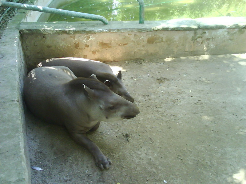 041. Тапиры - Барселонский зоопарк