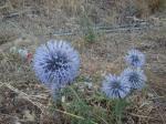 012. Сиреневые колючки вдоль дороги - Деревня Марью (Μαριού), Южный Крит