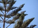 018. Гроздья шишек на хвойном дереве - По дороге из деревни Марью (Μαριού) на пляж Плакиас (Πλακιάς), Южный Крит.