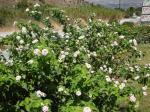 026. Куст с бело-розовыми цветами (Лантана Камара) - Пляж Дамнони, Южный Крит