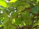 059. Мандариновое дерево - Окрестности Плакиас (Πλακιάς), Южный Крит