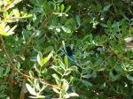 071. Сине-голубая стрекоза - Пляж Сува (Σούδα). Самый правый край залива Плакиас, Южный Крит.